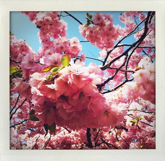 Frasande körsbärsblom i minnet